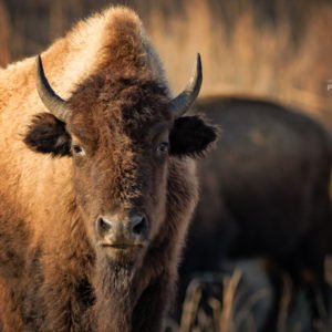 buffalo stare