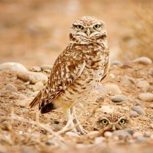 burrowing owls NM