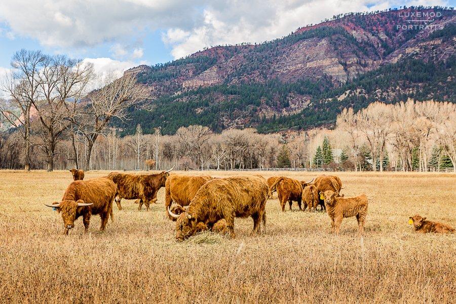 highland fuzzy cows